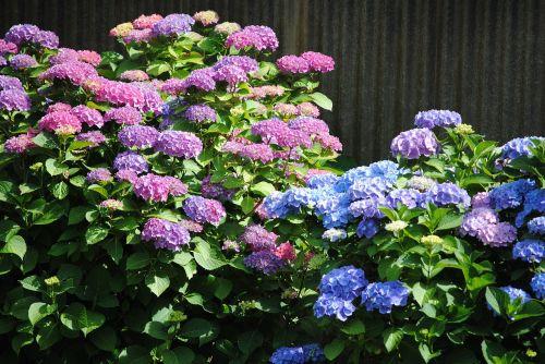 hortensia flowers purple