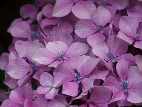 hortensia purple flower