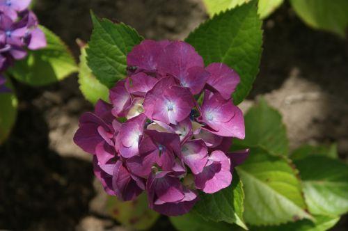 hortensia garden flower