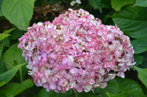 hortensia withered flower