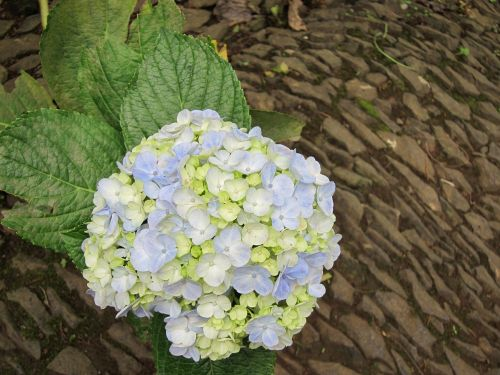 hortensia hydrangea floral