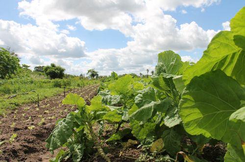 horticulture irrigated organic agriculture sergipe