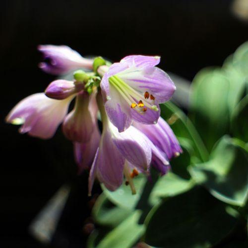 hosta hostas sweetheart lilies