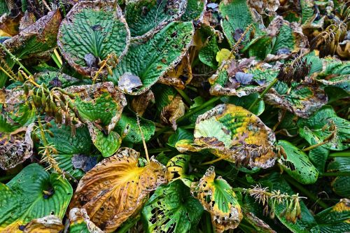 hosta plant withering