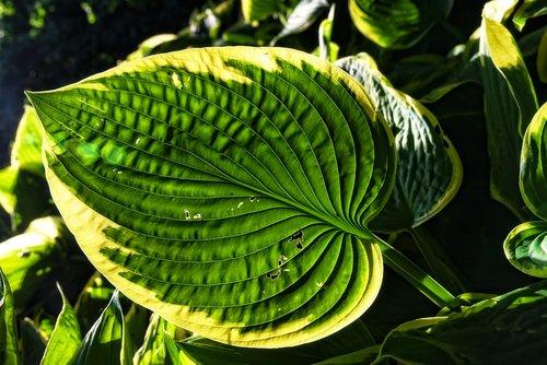 hosta  plantain lilies  plant