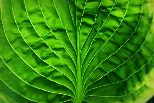 hosta leaf  plant  vein