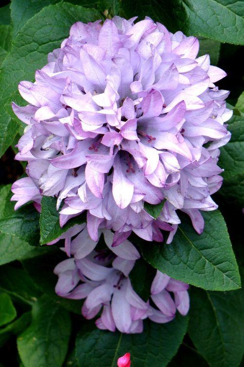 hosta vista garden caroline bellflower perennial