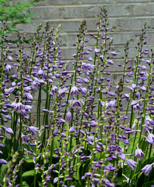 hostas hosta flowers purple blossoms