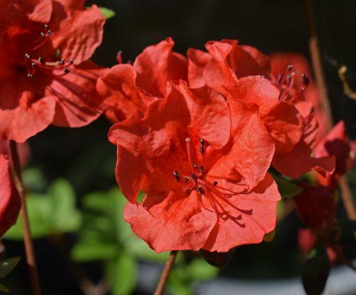 hot orange azalea azalea flower