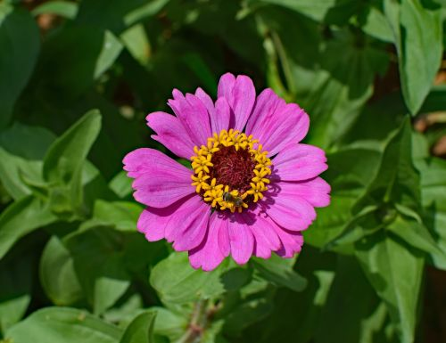 hot pink zinnia with bee bee flower