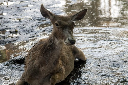 hot summer  animal  the doe is struggling with insects
