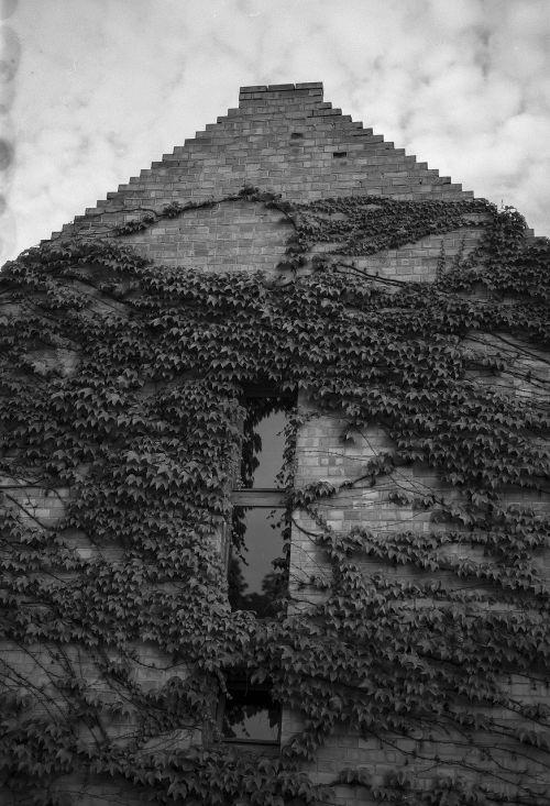 house vines virginia creeper