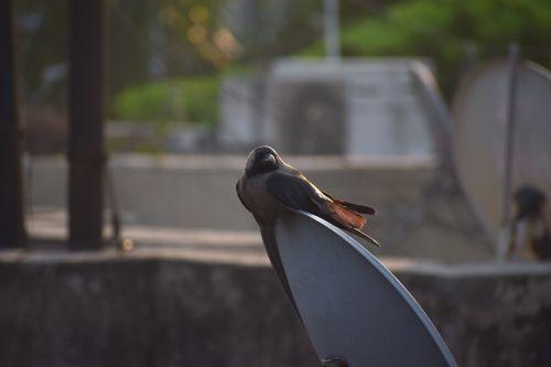 house crow crow grey-necked
