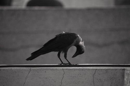 house crow bending neck basking