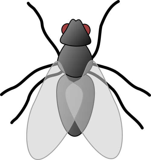 house fly fly insect