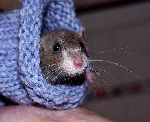 house rat color rat tame