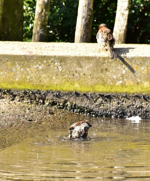 house sparrow sparrow water