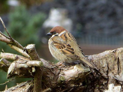 house sparrow passeridae sitting