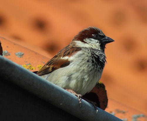 house sparrow bird sparrow