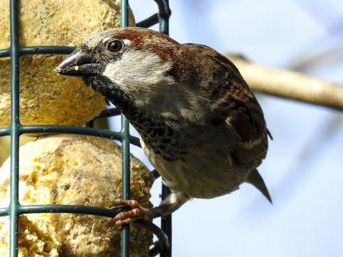 house sparrow sperling sparrow