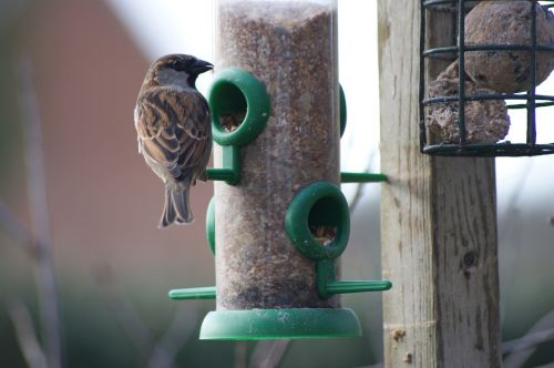 house sparrow sparrow bird feeder