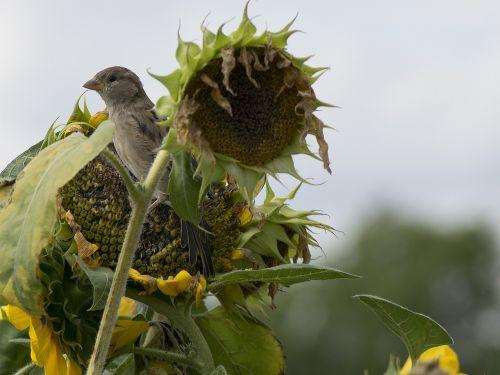 house sparrow sparrow bird