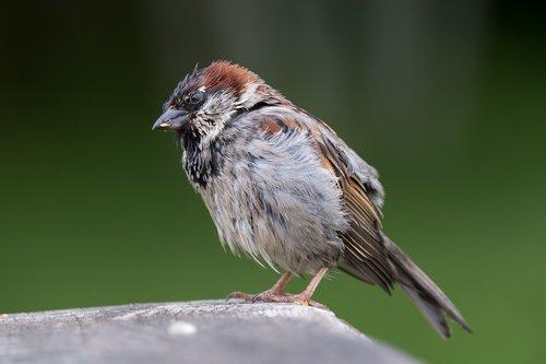 house sparrow  male  bird