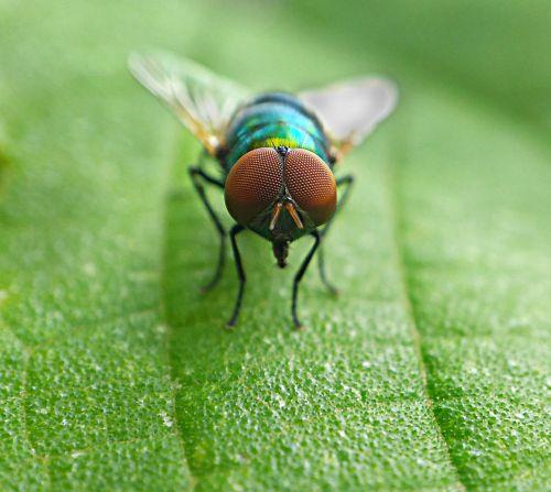 housefly macro insect