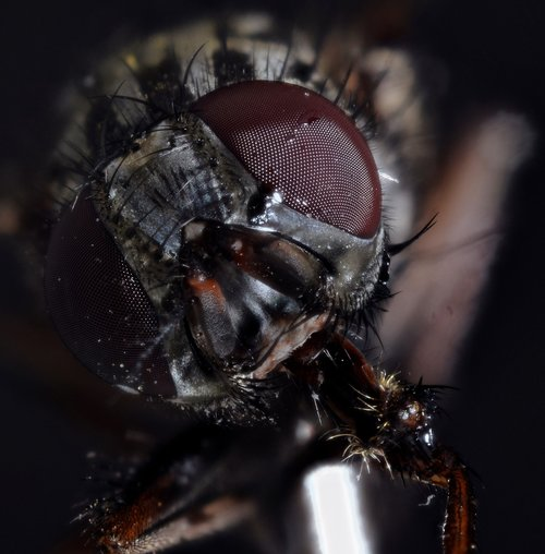 housefly  compound  fly