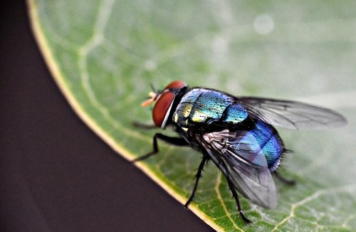 housefly  insect  fly