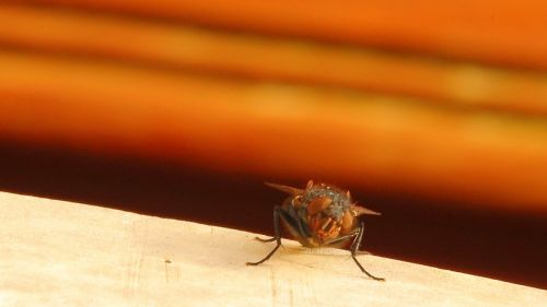 housefly fly insect