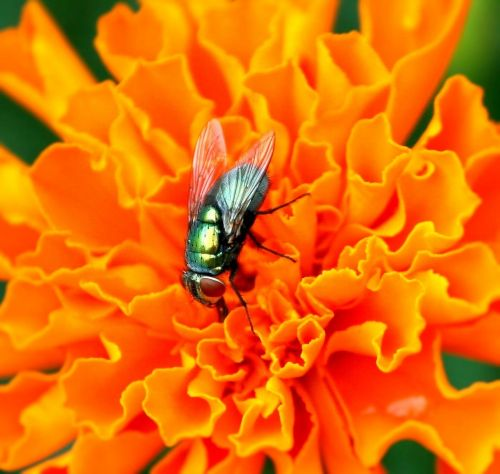 housefly insect pest