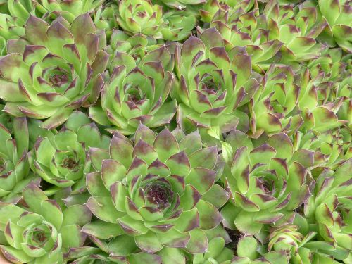 houseleek plant leaves