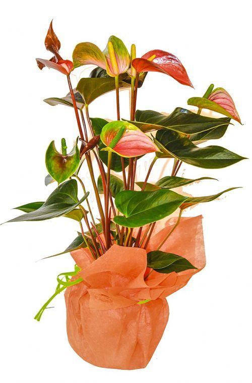 houseplant plant nukkumaija