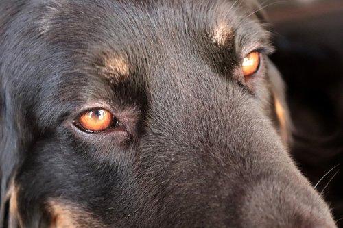hovawart  dog  eyes