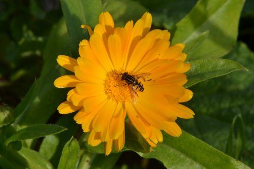 hover fly gerbera daisy sunshine