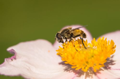 hover fly collect nectar nectar search