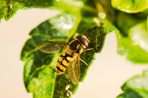hover fly insect animal