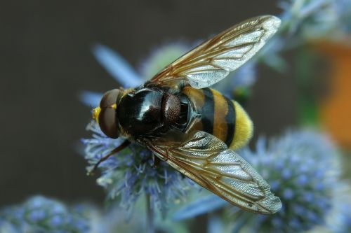 hover fly hornet hover fly forest schwebefliege