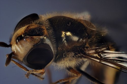hover fly  compound  fly
