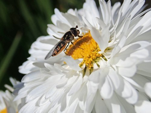hover fly  insect  flower