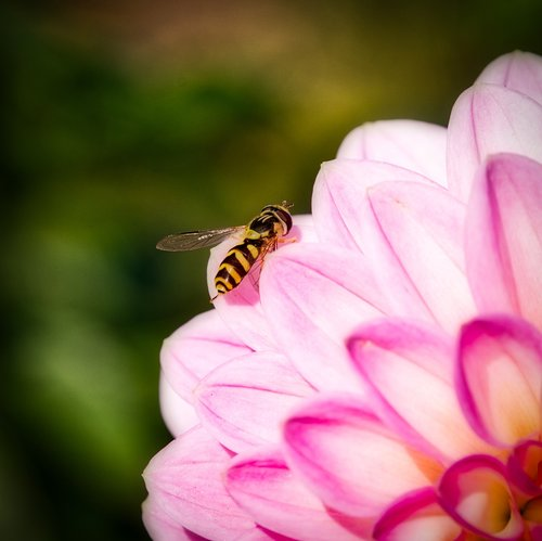 hover fly  blossom  bloom