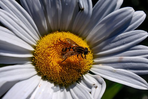 hover fly  insect  marguerite