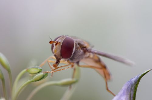 hover fly eye nature
