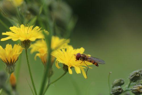 hoverflies porcelle asteraceae