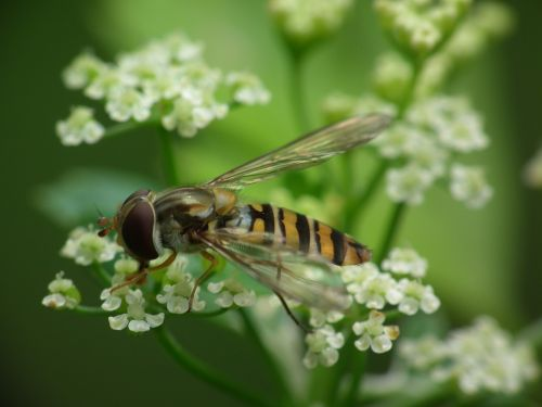 hoverfly dill blossom blossom