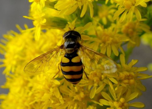 hoverfly insect macro