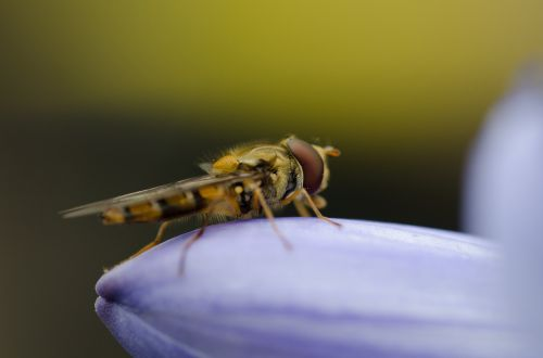 hoverfly hover fly macro
