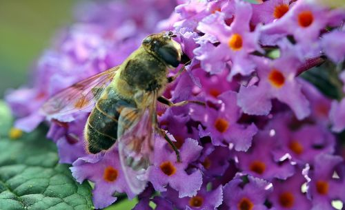 hoverfly dung fly nectar search