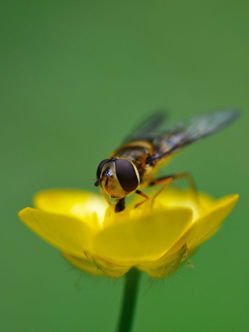 hoverfly insect forage